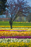 Multicolored Rows of Flowers With Trees. Rows and rows of multicolored flowers under the sun and tree blossoming in the background Stock Images