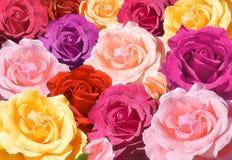 Multicolored rozenclose-up Stock Afbeeldingen