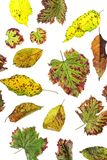 Multicolored scattered leaves. Colorful autumn leaves collection  on white background Stock Photos