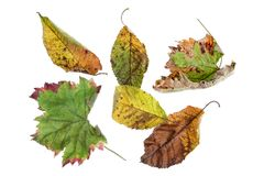 Multicolored scattered leaves. Colorful autumn leaves collection  on white background Stock Photography