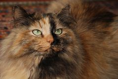 Multicolored Siberian Forest Cat Stock Photos