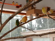 Multicolored singing birds on a branch, Lima, Peru Royalty Free Stock Image