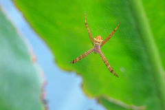 Multicolored Spider with Prey Stock Photography
