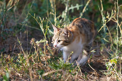 Multicolored spotted kitten hunts in the outdoors Royalty Free Stock Photo