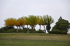 Multicolored Trees. The group of multicolored trees before fall at cloudy day Royalty Free Stock Images