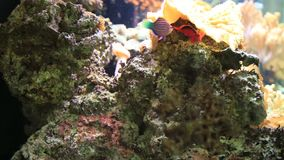 Multicolored tropical fish swimming slow in tank stock video
