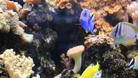 Multicolored tropical fish swimming in tank. Some tropical fish swimming in aquarium video stock video