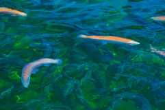 Multicolored trout swim Royalty Free Stock Photography
