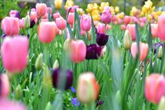 Multicolored Tulip with blured foreground stock photos