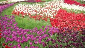 Multicolored tulip field. Full HD stock video