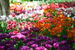 Field of bright multi-colored tulips. Spring and gardening royalty free stock images