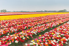 Multicolored tulip  field in North Holland Royalty Free Stock Photography