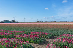 Multicolored tulip fields in the northern province of the Netherlands Royalty Free Stock Image