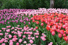 Multicolored tulips Royalty Free Stock Photos