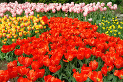 Multicolored tulips Stock Photo