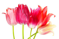 Multicolored tulips Stock Photos