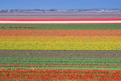 Multicolored Tulips Field. Stock Photography