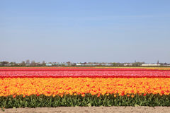 Multicolored tulips field in Netherlands, Holland Royalty Free Stock Photography