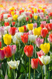 Multicolored tulips field in park Stock Photos