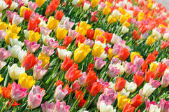 Multicolored tulips field in park Royalty Free Stock Image
