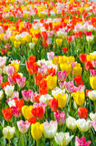 Multicolored tulips field in park Stock Image