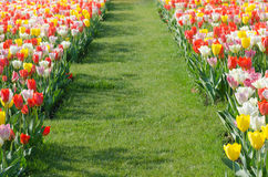 Multicolored tulips field in park Stock Photography