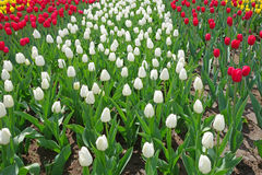 Multicolored tulips on the flowerbed Stock Photo