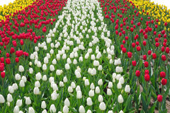 Multicolored tulips on the flowerbed Stock Images