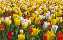 Multicolored tulips in garden. Nice flower-bed of  yellow-white and red tulips in Garden Stock Photography