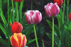 Multicolored tulips on a green background Royalty Free Stock Photo