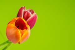 Multicolored tulips on green background Stock Photo