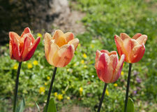 Multicolored tulips on green grass Royalty Free Stock Image