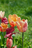 Multicolored tulips on green grass Royalty Free Stock Photos
