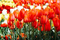 Multicolored tulips grow in the garden. Bright colors of spring. royalty free stock images