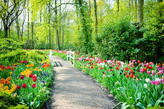 Multicolored tulips in Keukenhof Gardens Royalty Free Stock Photo