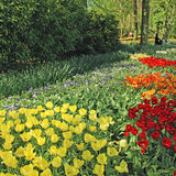 Multicolored tulips in the Keukenhof Park, Netherlands Royalty Free Stock Image