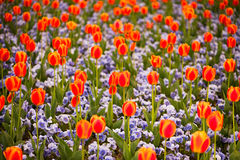 Multicolored tulips and pansy. Flowers on flowerbed Royalty Free Stock Image