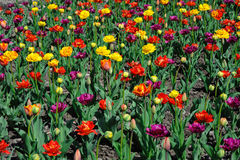 Multicolored tulips and pansy flowers on flowerbed Royalty Free Stock Image