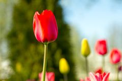 Symbol of happiness, love, admiration. Multicolored tulips in the park, on the lawn. Symbol of love and theft. According to Feng Shui, tulips symbolize the stock image
