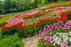 Multicolored tulips in the park Royalty Free Stock Photo