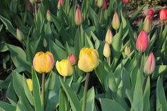 Multicolored tulips spring bloom in the garden.  Stock Image