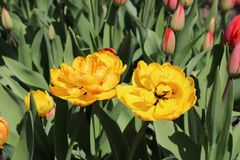 Multicolored tulips spring bloom in the garden.  Stock Photography