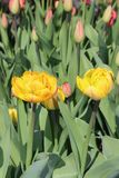 Multicolored tulips spring bloom in the garden.  Royalty Free Stock Photos