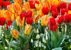 Multicolored tulips on spring flowerbed. Royalty Free Stock Images