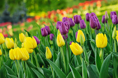 Multicolored tulips Royalty Free Stock Photography