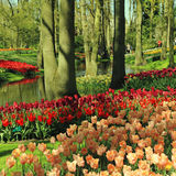 Multicolored tulips in spring, Netherlands Royalty Free Stock Photography