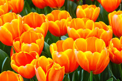 Multicolored tulips in spring park. Royalty Free Stock Photos