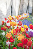 Multicolored tulips in a spring park Stock Photos