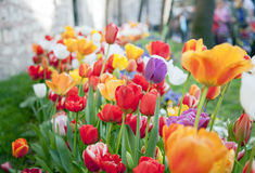Multicolored tulips in a spring park Stock Images