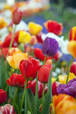 Multicolored tulips in a spring park Royalty Free Stock Images